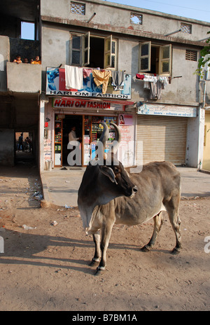 Close-up of cow in Ahmedabad, India. - Stock Photo