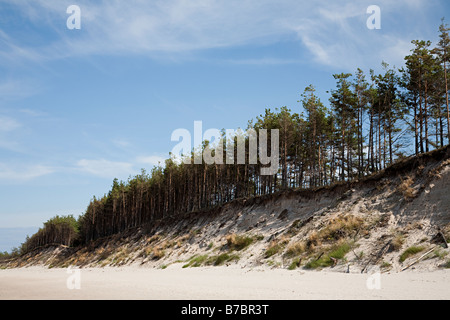 Trees eroded from sand dunes at edge of Slowinski beach on the Baltic Poland - Stock Photo