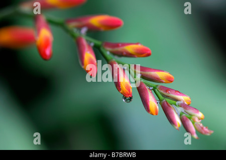 Crocosmia lucifer montbretia flower buds unopened red on green perennial clump forming abstract inflorescence raceme - Stock Photo