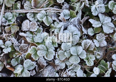 Waldsteinia ternata with hoar frost - Stock Photo