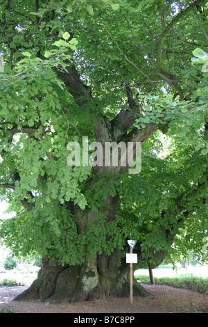 Kaiser-Lothar lime in Koenigslutter on Elm - Stock Photo