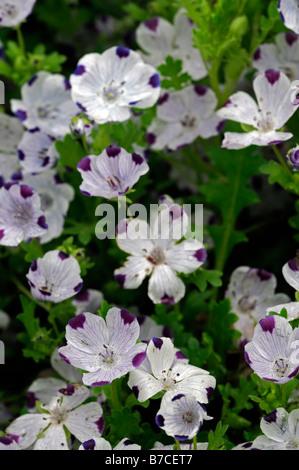 nemophila maculata five spot spring flowering annual flower bloom blossom - Stock Photo