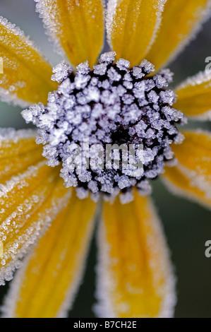 Rudbeckia fulgida Cultivar var. sullivantii 'Goldsturm' flower head flowerhead covered cover frost ice brown winter - Stock Photo
