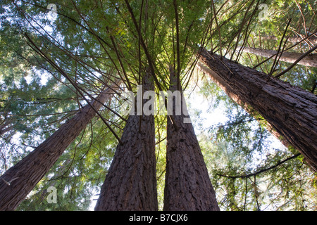 Redwood trees near the Big Sur Lodge, Julia Pfeiffer Burns State Park, Big Sur coast, California, USA - Stock Photo