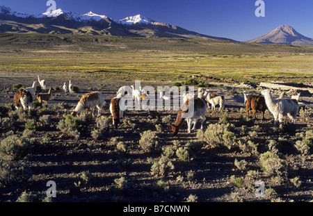 alpaca (Lama pacos), Alpacas on a bofedal near Colchane with Cerro Cabaray (6433 m), Chile, Isluga Nationalpark - Stock Photo