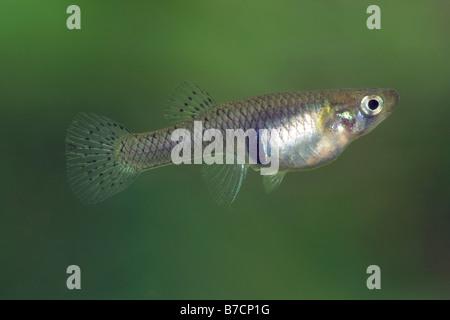 mosquito fish, mosquitofish (Gambusia affinis), female, Turkey, Antalya, Belek - Stock Photo