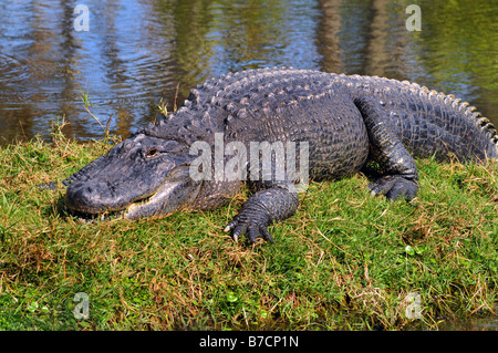 Big Alligator on green grass - Stock Photo