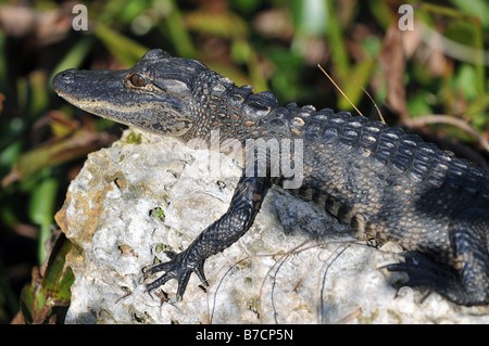 Baby alligator sunbathing on the rock - Stock Photo