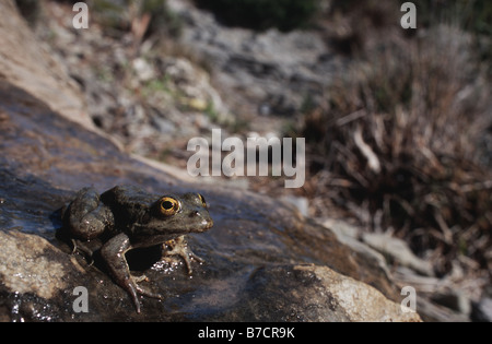 Karpathos waterfrog (Rana cerigensis, Pelophylax cerigensis), sitting on a wet stone, Greece, Krpathos - Stock Photo