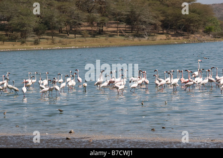 Flamingo wading Lake Naivasha Rift Valley Kenya - Stock Photo