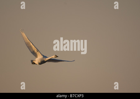 Bewick's or Tundra Swan Cygnus columbianus bewickii - Stock Photo