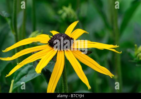 Rudbeckia fulgida Cultivar var. sullivantii 'Goldsturm' flower head flowerhead bloom blossom perennial - Stock Photo