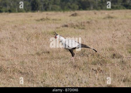 Secretary bird Masai Mara North Reserve Kenya - Stock Photo