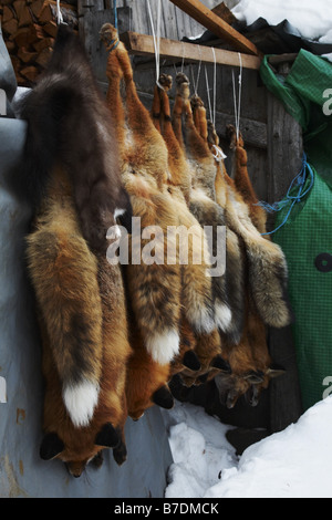 red fox (Vulpes vulpes), hunted foxes hanging down, Switzerland, Graubuenden, Engadine, Guarda - Stock Photo