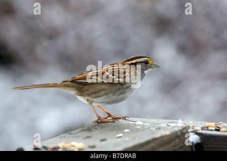 White throated Sparrow - Stock Photo