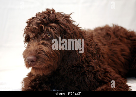 A chocolate brown Portuguese Water - Labradoodle dog sits patiently. From Austrailia, but lives in NYC. Photo by - Stock Photo