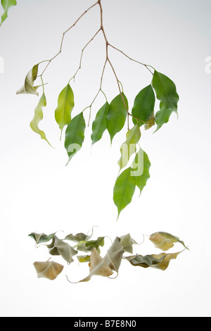 Clip Image Drying Leaves Of Potted Fig Tree Ficus Benjaminii Stock
