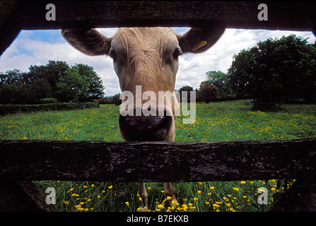 An inquisitive cow looks through a wooden farm gate on a farm in Lincolnshire UK - Stock Photo