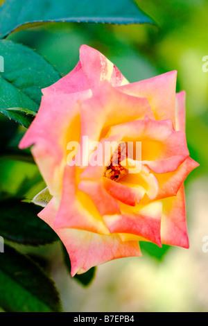 Gallica Rose - Stock Photo
