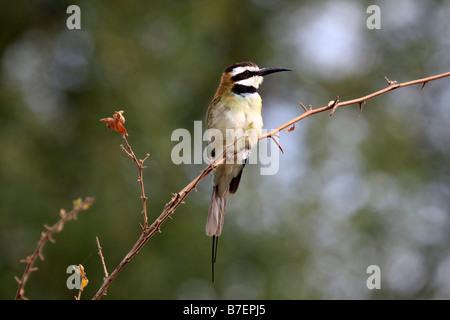 White-throated Bee-eater, Merops albicollis - Stock Photo