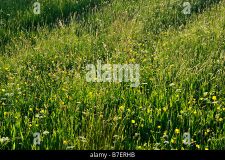 Field of wild grasses and wildflowers in late sunlight Killin Perthshire Scotland UK - Stock Photo
