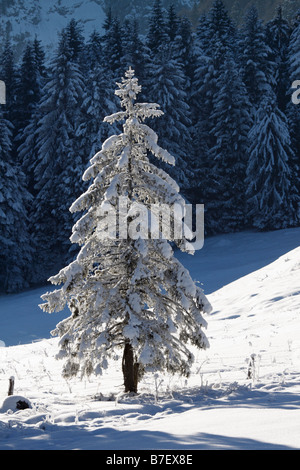 Snow-covered fir in the Alps (Lehenbauern-Alm) - Stock Photo