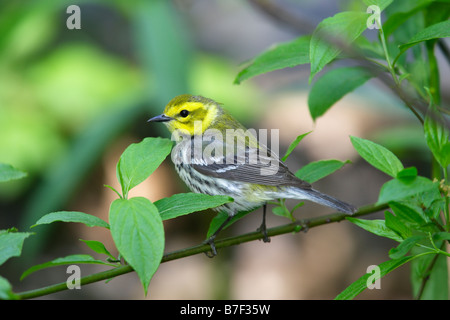 Black throated Green Warbler Dendroica virens virens - Stock Photo