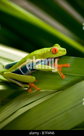 Red eyed tree frog (agalychnis callidryas) in Costa Rica - Stock Photo