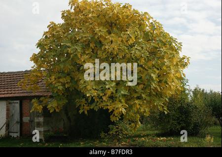 figuer Common Fig Ficus carica ARBRE FLORE MORACEAE FRUIT EUROPE FIGUE FIGUIER - Stock Photo