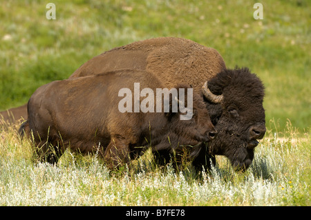 A pair of Bison on the Northern Plains - Stock Photo