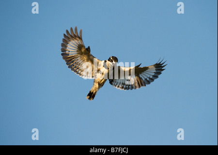 Ceryle rudis. Female Pied Kingfisher hovering above water in the Indian countryside. Andhra Pradesh, India - Stock Photo