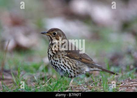 SONG THRUSH Turdus philomenos STANDING IN GRASS SIDE VIEW - Stock Photo
