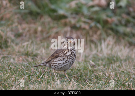 SONG THRUSH Turdus philomenos STANDING WITH SNAIL IN BEAK - Stock Photo