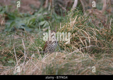 SONG THRUSH Turdus philomenos STANDING IN ROUGH GRASS FRONT VIEW - Stock Photo