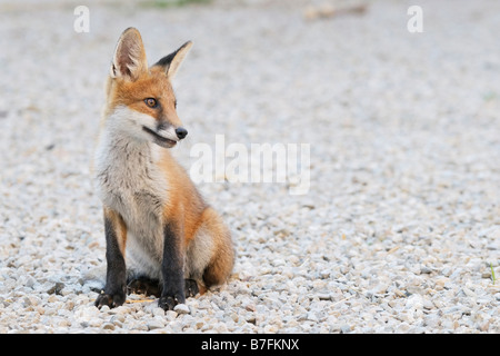 Two months old tamed fox - Stock Photo
