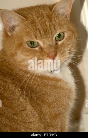 Ginger tom cat - Stock Photo
