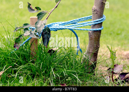 Stake and rope supporting young apple tree, England, UK - Stock Photo