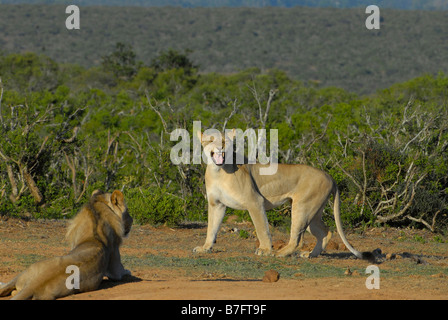 Young male and female lion in Addo Elephant National Park, South Africa. The lioness is showing a Flehmen's grimace. - Stock Photo