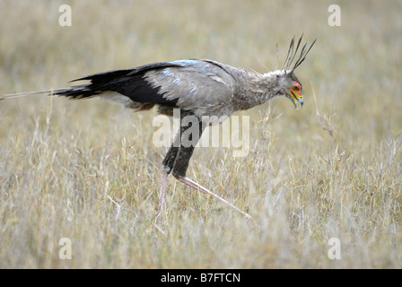 Secretary bird scanning grasslands of Addo Elephant National park for snakes and reptiles to eat - Stock Photo