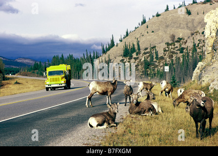 Jasper National Park, Canadian Rockies, Alberta, Canada - Bighorn Sheep (Ovis canadensis), Yellowhead Highway 16, - Stock Photo