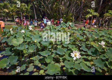 Mauritius africa nymphea lotus flower tank in sir seewoosagur stock mauritius africa nymphea lotus flower tank in sir seewoosagur ramgoolam royal botanical garden of pamplemousses mightylinksfo