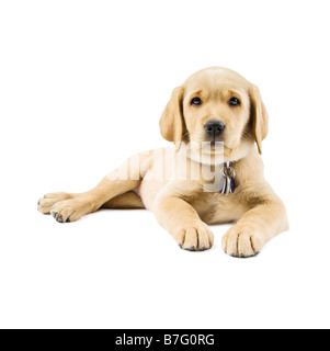 9 week old Labrador cross Golden Retriever puppy lying down on a white background - Stock Photo