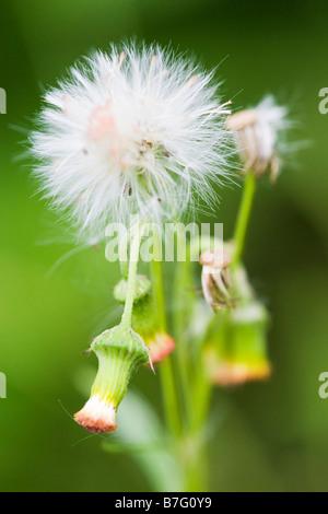Single dandelion - Stock Photo