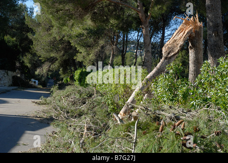 pine tree trunk snapped in hurricane force wind, Javea, Alicante Province, Comunidad Valenciana, Spain - Stock Photo