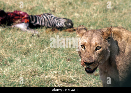 Lioness and dead zebra in Linyanti Game Area Botswana, Africa - Stock Photo