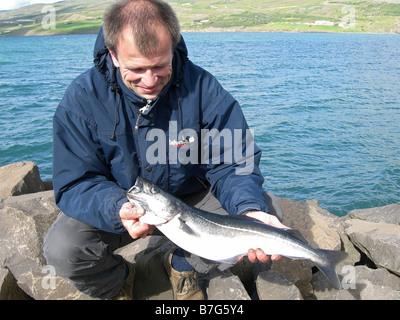 proud fisherman with pollock, fish caught in Iceland; Pollachius virens, saithe, coalfish, pollack; lieu noir, sei, - Stock Photo