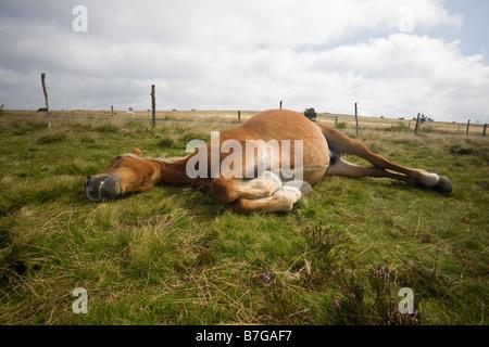 An old Franche-Comté horse (Equus caballus) lain down on a meadow. Vieux cheval Comtois (Equus caballus) couché - Stock Photo
