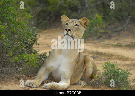 Female lion in Addo Elephant National Park, South Africa. She is hunting, and very alert - Stock Photo
