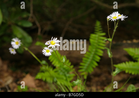 Closeup of a shadowy forest floor in Spring, with daisies and ferns, and a stick in the background, on fallen leaves - Stock Photo