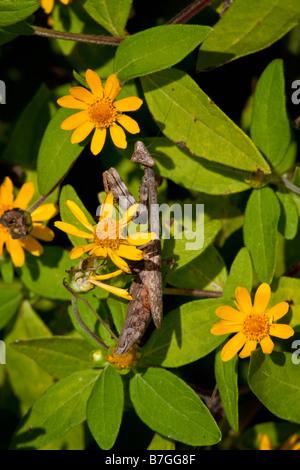 Praying mantis hunting in zinnias - Stock Photo